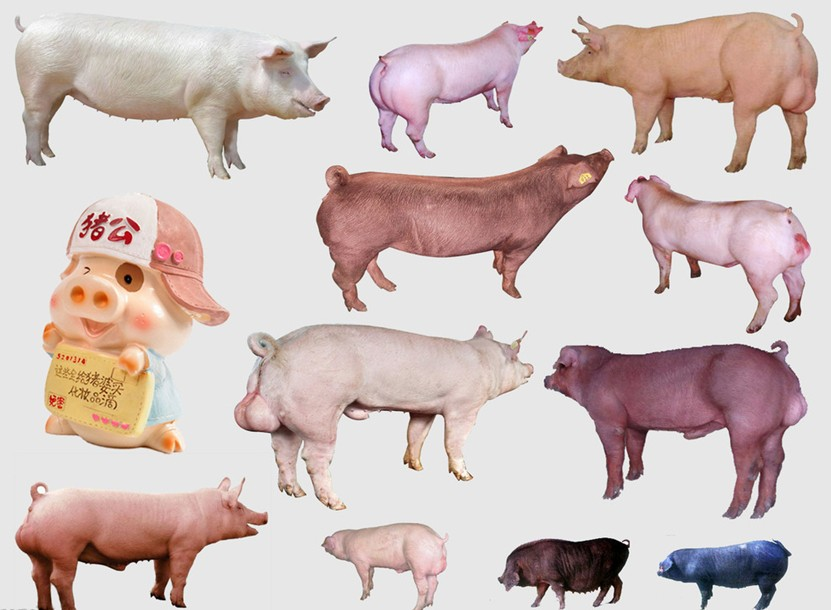 彩铅猪画法步骤