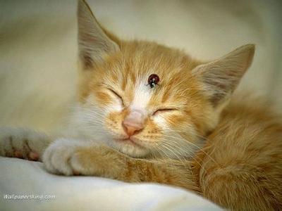回答:注意割断中间宿主对猫的传染途径,是预防猫感染绦虫病十分重要的措施。因此饲料鱼或肉应该煮熟后喂。当身体发生消瘦,临床又无其他疾病的情况下,应注意检查粪便是否有绦虫节片和虫卵,并及时驱治,环境彻底消毒。