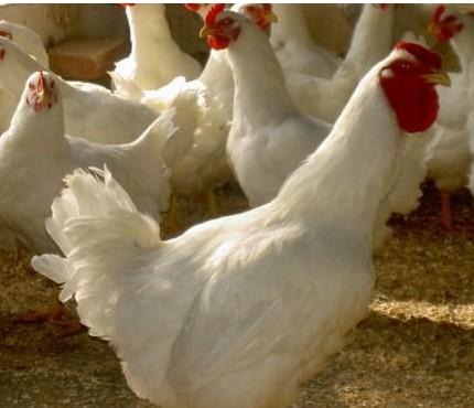 冬季如何养好肉鸡