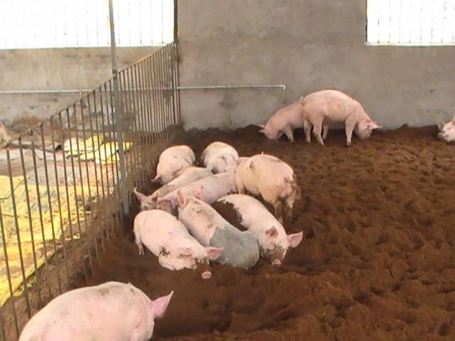 常见猪病症大全图解